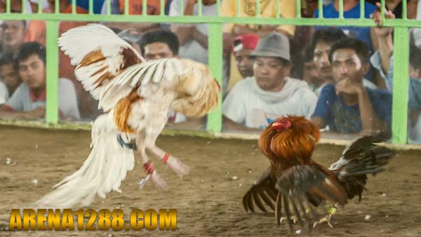 Daftar S128 Live Streaming Sabung Ayam Filipina | Arena128